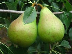 Саджанці груші сорту Листопадова