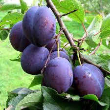 Grade plum saplings Anna Shpe