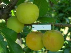 Grade cherry plum saplings Gek