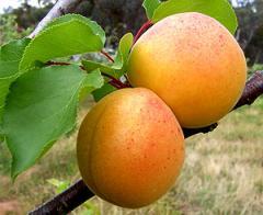Grade apricot saplings Kiev handsome