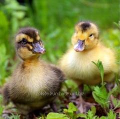 Ducklings of breed cross-country of blagovarskiya
