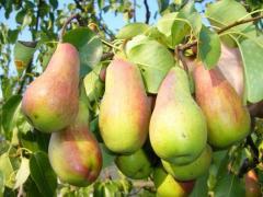 Саженцы плодовых деревьев. Груши сорта Талгарская