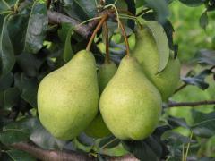 Саженцы плодовых деревьев. Груши сорта Мария