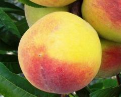 Саженцы плодовых деревьев. Персики сорта Сказка