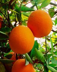 Апельсин (Греция),  сорт Вашингтон
