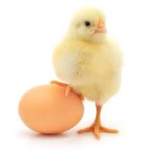 Молодняк кур
