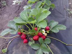 Saplings of wild strawberry garden grades Honey