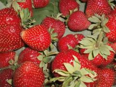 Strawberry saplings. Fruit jelly grade strawberry