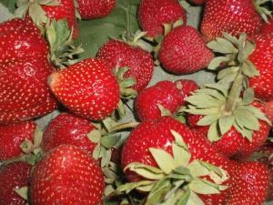 Розсада полуниці. Сорт полуниці Мармеладу