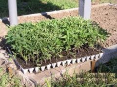 Продам розсаду овочів