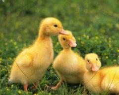 Ducklings of breed of Cherry-Velli