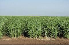 Семена суданской травы Белорусская