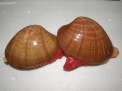 To wholesale Fasolari's mollusk