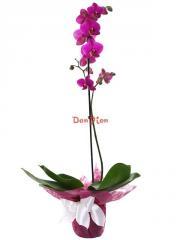 Орхидея светло-лиловая