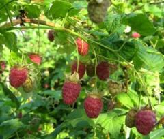 Raspberry available all remontantny grades, are