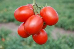 Семена томатов СТЕЛЛА РЕД F1 5000 сем. для свежего рынка и переработки, семена помидор, семена