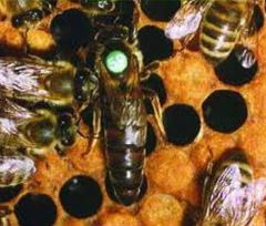 Плодные и неплодные пчеломатки Карпатской породы