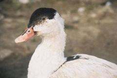 Ducks Mulard bred cross-country broiler, ducklings