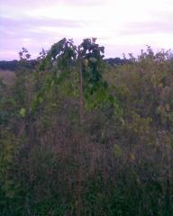Birch ordinary f.plakuchy