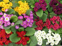 Квіти однолітні