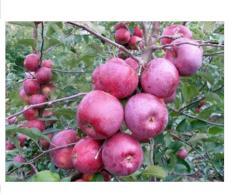 Apple-tree saplings Florin late grade