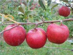 Saplings of apple-tree of Radogos