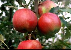Saplings of apple-tree of Rosavk