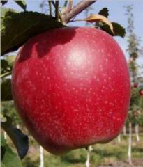 Saplings of apple-tree of Reven