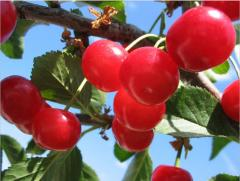 Saplings of cherry of Turgenevk