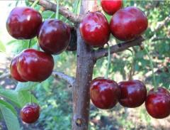 Cherry large-fruited