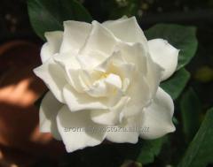 Gardenia essential oil of a gardenia