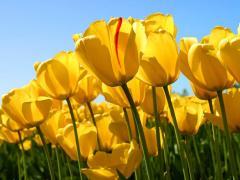 Тюльпан свежесрезанный