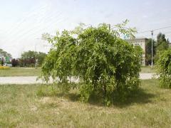 Ash-tree of plakuchiya (Fraxinus)
