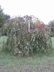 Береза плакуча. (Betula pendula.)