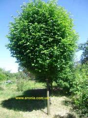 Smoothleaf elm. (Birch barks, English elm) -