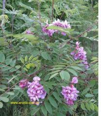 Робиния клейкая. (Robinia viscose Vent.)