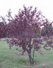 Pissard's plum. (Prunus Pissardii Carr.)
