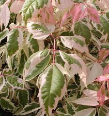 Box elder — Acer Negundo variegate (Pink