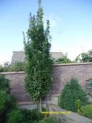English oak (ordinary) f. piomidalny (Quercus