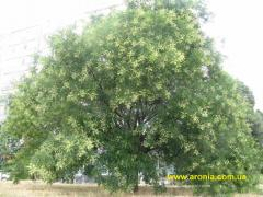 Chinese scholar's tree (Sophora japonica L.)