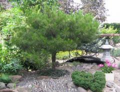 Pine spherical on bole (Pinus)
