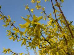 Forzition. (Forsythia europaea.)