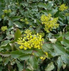 Magoniya is padubolistny. (Mahonia aguifolium