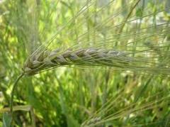Семена ячменя. Посевной материал для...