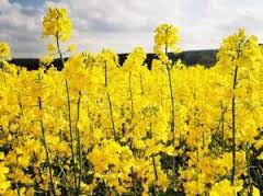 "Colsa seeds from originator: ""Dangal"","
