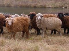 Овцы от производителя Украины