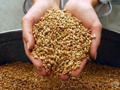 Grain crops. Seeds