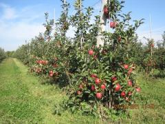 Саджанці дерев плодових порід