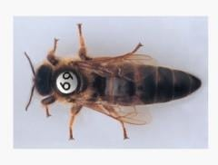 Pchelomatki, the Queen bee Carpathian generate