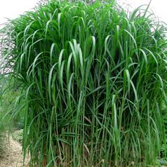 Miskantus (seeds, rhizomes)